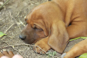 AWESOME! 3 Reg'd  REDBONE COONHOUND PUPPIES w/microchip