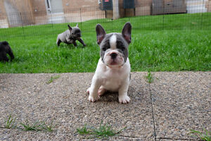 Top Quality french Bulldog Puppies Oakville / Halton Region Toronto (GTA) image 3