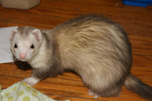 Looking for Reliable Ferret Sitter