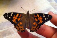 Butterfly Raising Kits-SCHOOLS, TEACHERS!!