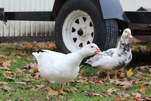 Gorgeous,Young, Female Muscovy Ducks Kitchener / Waterloo Kitchener Area image 2