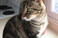 MISSING CAT: Damon - MEADOWLANDS/FISHER AREA
