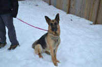 Adoption pending- CKC Registered GSD Female 2 years old
