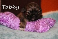 LOVABLE SHIH-TZU PUPPIES