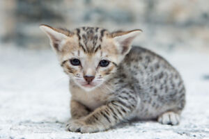 Exotic F4 Savannah Kittens for Bengals lovers as well - one left