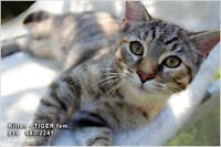 Affectionate KITTEN Tiger Stripes - DEAL - Trained 983-2241(819)