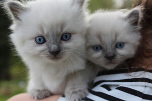 PERSIAN KITTENS - Looking for forever homes!