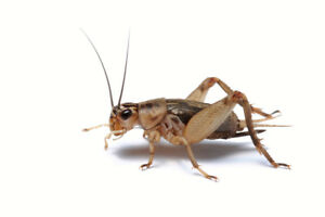 Insects, Great Selection, or Preorder