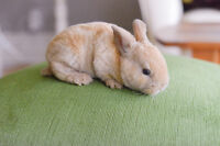 lion head and mini rex bunnies for sale