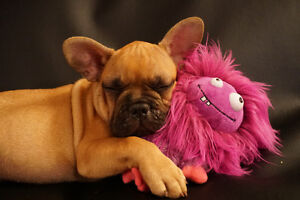 French Bulldogs male