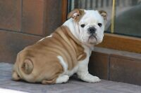 English bulldog/ bulldog anglais
