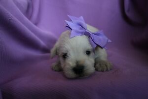 CKC Registered Miniature Schnauzer Puppies