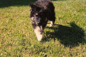 German shepherd Pick of the litter ~Male ~