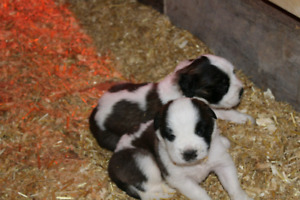 Purebred Saint Bernard Puppies, both parents are dry mouth.
