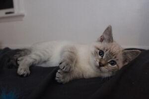 Lynx point siamese cross female kitten