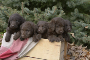 Labordoodle puppies