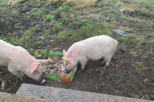 WANTED Scrap produce to feed pigs; eg old apples pumpkins
