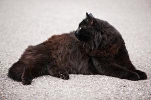 Chat noir au poil long perdu à Mercier-Est **Récompense**