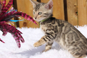 Bengal kitten silver tarnish female, Emcee