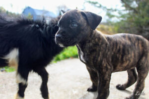 Large Double CaneBoxer puppies.