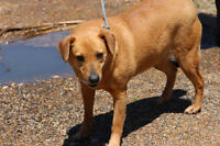 Erin is a 3 yrs old, female, lab mix