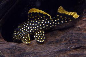 L018 Gold Nugget Pleco Freshwater Aquarium Fish Tank