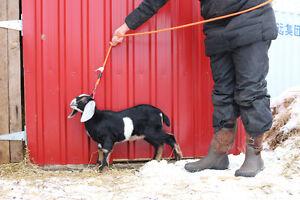 Registered  Goat (nubian)