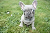 Blue & fawn blue French bulldog  puppies