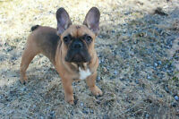 **RARE BLUE/TAN** English and French Bulldog QUALITY puppies!!