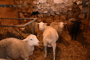 Ewes for Sale & Goat