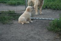 Golden Retiever pups for SALE