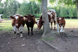 Commercial Shorthorn cows for sale