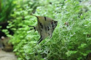 Angelfish Juveniles / 6 months old