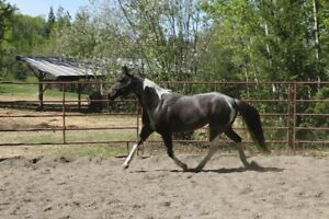 7 Year old Bay Roan Mare