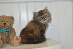 chinchilla female persian kittens (2) available