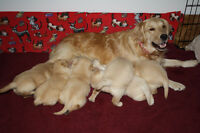 Golden Retriever Puppies 4 SALE