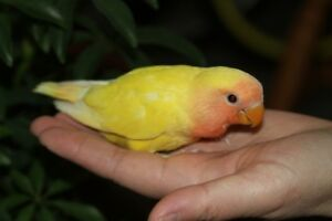 Hand-fed Peach-faced Lutino baby lovebirds want a neew home