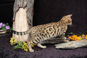 Beautiful Female Bengal kitten for sale