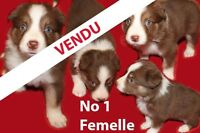 Border Collie chiots pure race / pure bred puppies