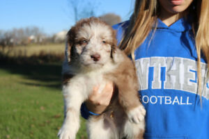 2 aussiedoodle males  for sale