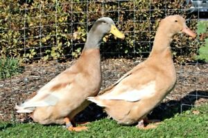 Pure Bred Buff Orpington Duck Hatching Eggs.