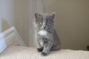 Kittens - Russian Blue Mix - Pending Adoptions