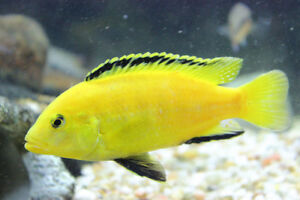 4.25 Inch Breeder Male Electric Yellow