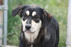 Bernese Mountain Dog cross for Adoption