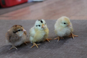 DAY-OLD CHICKS - ICELANDIC CHICKENS -$10 each - price reduced