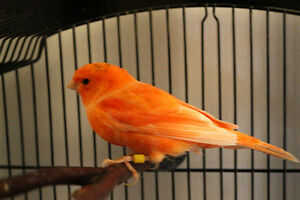 Red Factor Male Canary with Cage Kitchener / Waterloo Kitchener Area image 2
