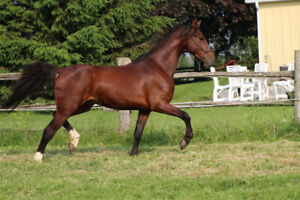 Dutch Harness X Saddlebred gelding