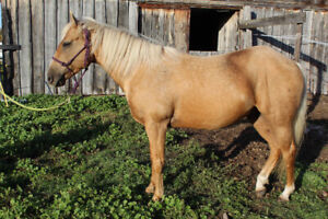4yr old Registered QH Palomino Gelding For Sale