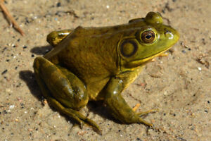 Frogs and Tadpoles! Garden Pets, Bug control, teaching tools