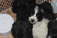 purebreed Border collie puppies for sale